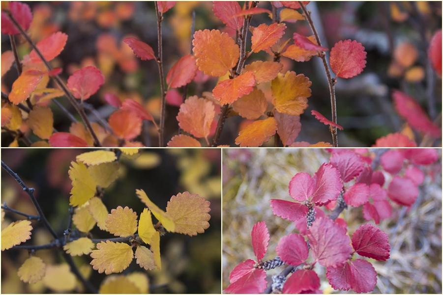Карликовая березка осенью
