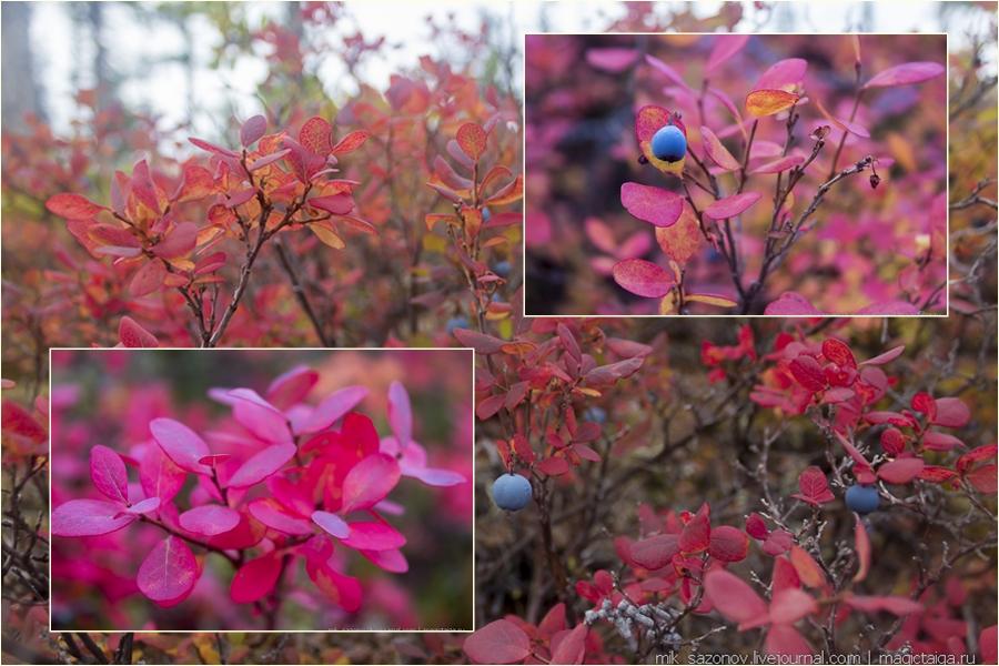 бордовые листья голубики