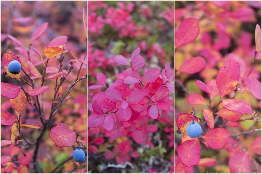 Голубика - самое распространенное растение в лесотундре